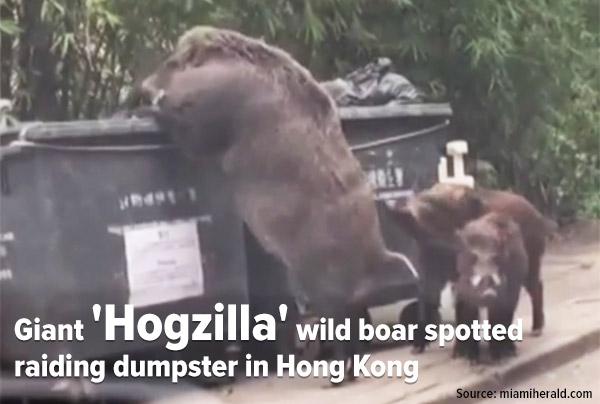 Giant hogzilla wild boar spotted raiding dumpster in Hong Kong